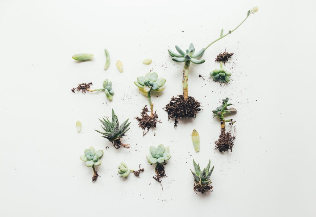 succulents are dying