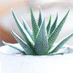getting rid of bugs and pests in succulents is easy