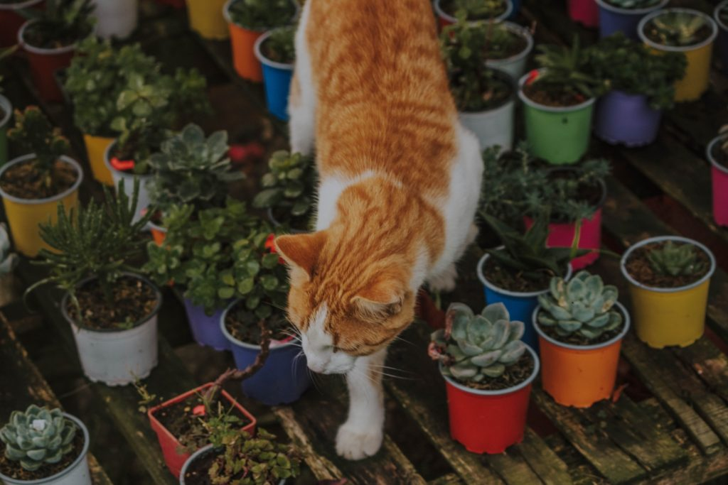 cat around safe succulents